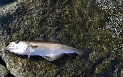 Dagens fangst, en lyr... Foto:Karl Inge S