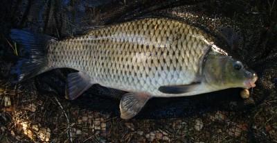 Karpe er en aldeles nydelig fisk Foto:Karl Inge S